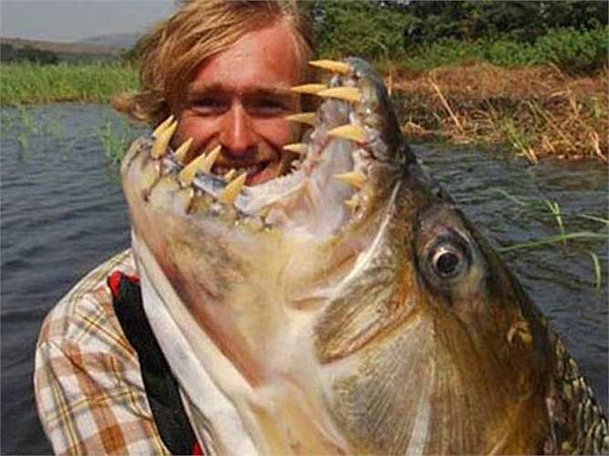Loài cá cọp khổng lồ này có độ dài lúc trưởng thành là 1,5m, trọng lượng 50kg.