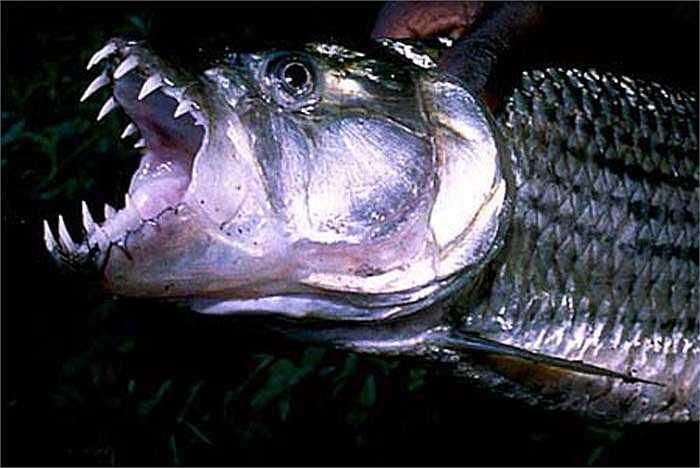Loại cá này ăn bất cứ thứ gì trước miệng nó. Nó xơi tất cả các loài cá khác.