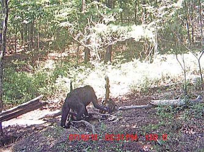 Nhiều nhân chứng cho rằng Bigfoot có khuôn mặt giống người, đôi tay dài của linh trưởng nhưng dáng đi lại giống loài lười đất đã tuyệt chủng. Và liệu rằng loài quái vật lấy đi nhiều giấy mực của nhà khoa học lại chỉ là một con vật bình thường?
