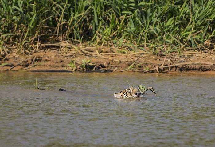 Quyết định vượt sông dù nước là nỗi sợ hãi của họ nhà mèo