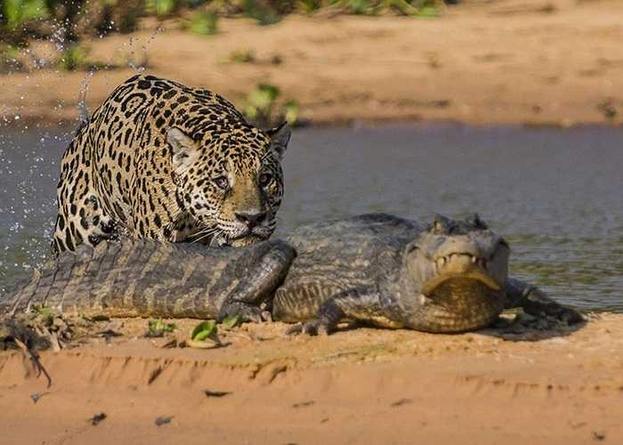 Cá sấu vẫn không hay biết sát thủ đã tới sau lưng