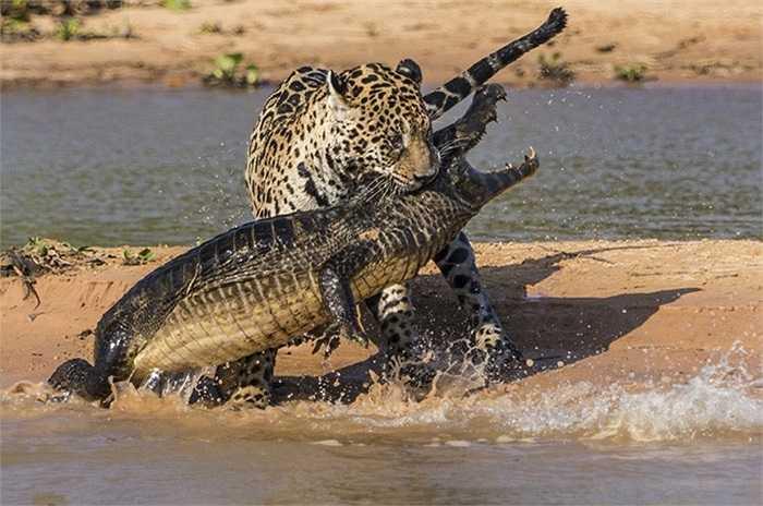 Những pha giằng co giữa báo đốm và cá sấu