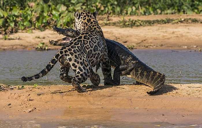 Nỗ lực của con cá sấu dường như vô ích, báo đốm đớp gọn con mồi