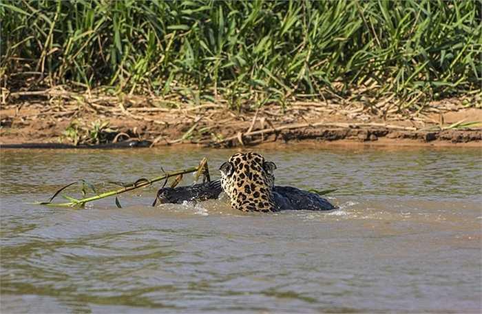 Báo đốm tha con mồi về bên kia bờ sông để ăn thịt