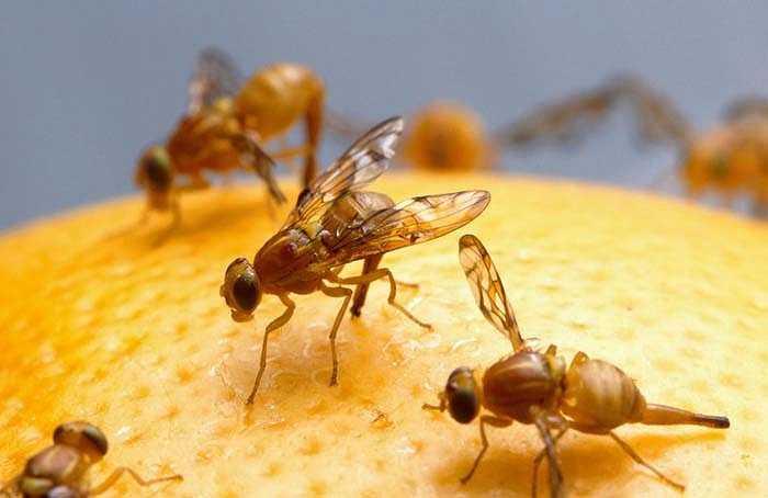 Loài ruồi thực sự biết suy nghĩ trước khi quyết định phải làm gì. Mới đây, các nhà sinh vật học đã phát hiện ra điều này khi đưa những chú ruồi giấm vào những tình huống bắt buộc phải lựa chọn: khi bơm thêm hương thơm vào buồng kín, chúng đã cố suy nghĩ rằng có nên bay khỏi khu vực đó hay không.