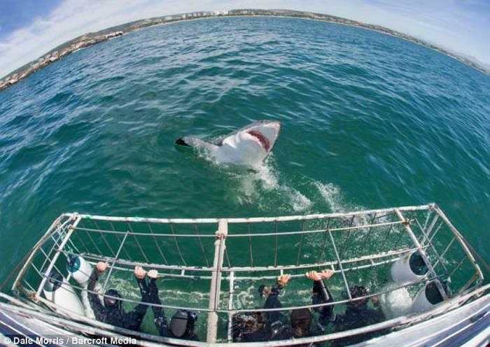 Hình ảnh ấn tượng này được nhiếp ảnh gia Anh Dale Morris chụp tại Vịnh Mossel, Nam Phi khi ông cùng một nhóm du khách thưởng ngoạn đời sống biển từ bên trong chiếc lồng thợ lặn.