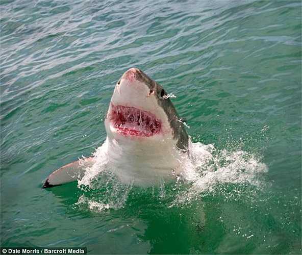 Màu đỏ hồng gợi nhiều liên tưởng khủng khiếp của con cá mập cái lúc lao lên khỏi mặt nước và nhìn chằm chằm vào chiếc lồng lạ lẫm với nhóm du khách mê mạo hiểm.