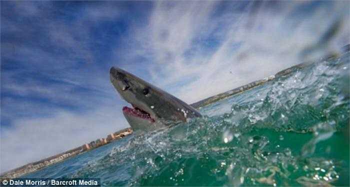 Nhiếp ảnh gia Morris kể, khi một con cá mập lớn xuất hiện, những con khác nhỏ hơn lập tức biến mất. Nó bơi qua bơi lại trước mặt chúng tôi như thể đang cố ý cho chúng tôi xem màn trình diễn của nó.