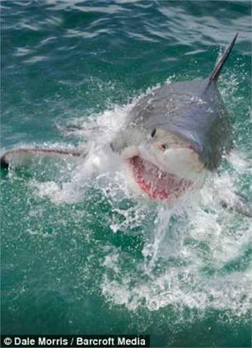Bản thân Morris từng chứng kiến cảnh hàm răng khủng khiếp của một con cá mập trắng đã cắn ngập thanh sắt chiếc lồng bảo vệ du khách lặn biển. Nhưng không hề có tai nạn nào xảy ra.