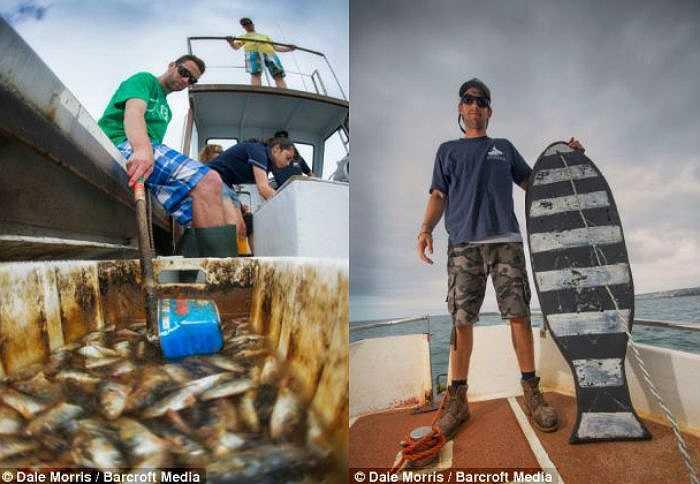 Các nhà nghiên cứu thường dùng cá chết (ảnh trái) và một chiếc bảng hình con cá khổng lồ để thu hút cá mập trắng tới gần, biến trải nghiệm lặn biển cùng sát thủ đại dương trở thành điều không thể quên.