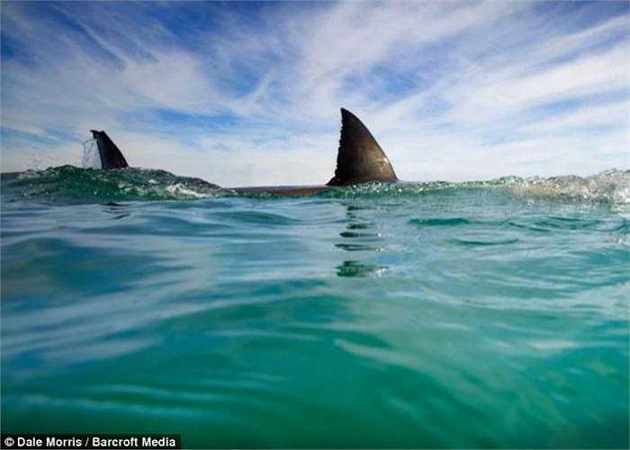 Cá mập trắng thường săn hải cẩu và hay nhô lên khỏi mặt nước để tìm kiếm con mồi. Trong ảnh là một cặp cá mập trắng đang bơi trên biển Nam Phi.