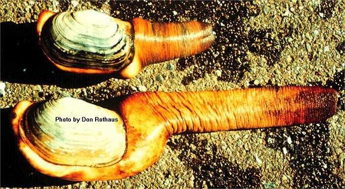 Đó là loài tu hài khổng lồ, còn gọi là ốc vòi voi, trai vòi, hoặc con thụt thò. Nó có pháp danh khoa học là Panopea generosa.