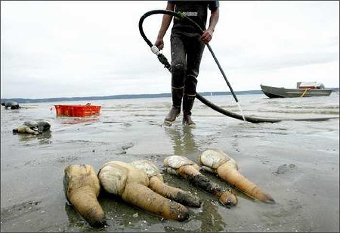 Các thợ lặn phải mang ống thở xuống đáy biển, dùng vòi phun cao áp thổi lớp cát lên để bắt tu hài khổng lồ.