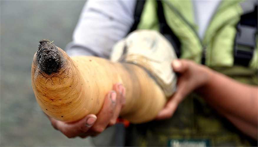 Loài tu hài khổng lồ này có mặt nhiều nhất ở vùng biển Canada và tây bắc nước Mỹ. Chúng đã sống dưới lòng cát hàng triệu năm trước. Chúng là loài vật bị con người lãng quên hàng vạn năm qua.