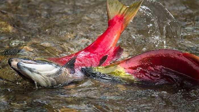 Khi vào vùng nước ngọt của sông Adams, cơ thể cá hồi dần chuyển sang màu đỏ tươi.