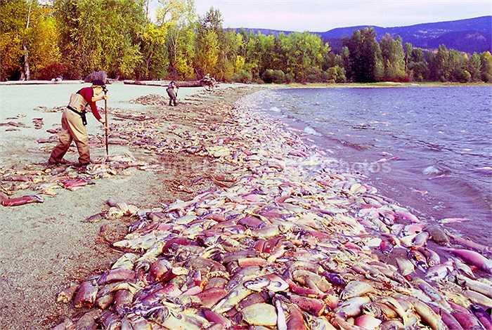 Trong quá trình di chuyển, cá hồi đỏ không ăn thứ gì. Đẻ xong, chúng kiệt sức và chết. Cá hồi con sinh ra và lại bắt đầu một hành trình kéo dài 4 năm như thế.