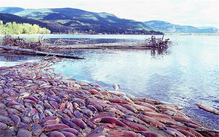 Số cá hồi còn sót lại, khoảng 8-10 triệu con, trong đó có một nửa là cá cái sẽ di cư về sông Adams để sinh sản và chết đi.