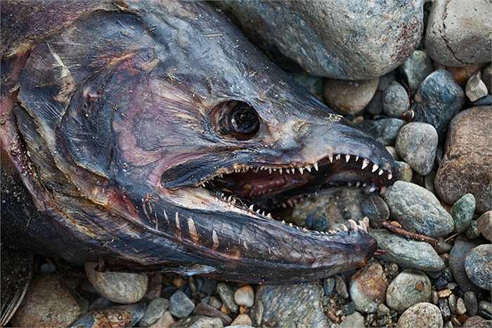 Trước đó, năm 2010 cũng được cho là năm lượng cá hồi đổ về sông Adams lớn nhất trong vòng 100 năm, bởi có đến 8 triệu cá hồi tìm về.