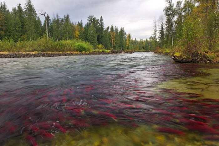 Theo tính toán của các nhà khoa học, mấy năm nay môi trường sống của cá hồi đỏ được chính quyền bảo đảm, nên dự kiến sẽ có khoảng 10 triệu con di cư từ biển vào sông Adams.
