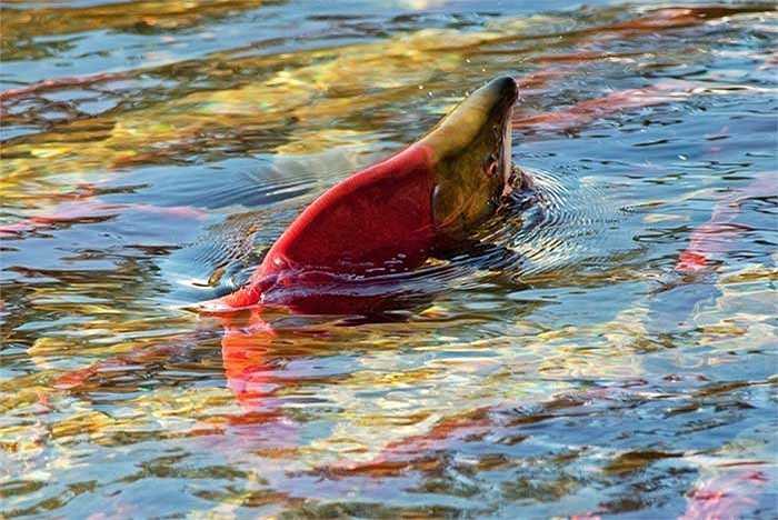Đây sẽ là cuộc di cư lớn nhất kể từ năm 1913, năm được cho là có cả chục triệu cá hồi đỏ trở về nơi chúng sinh ra.
