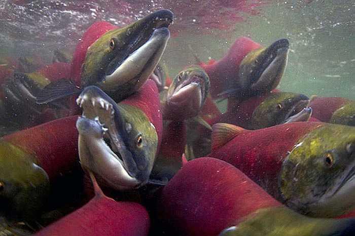 Chúng rục rịch kéo vào sông Adams từ tháng 8 và bắt đầu sinh sản nhiều nhất vào tháng 10 trên chính dòng sông này.