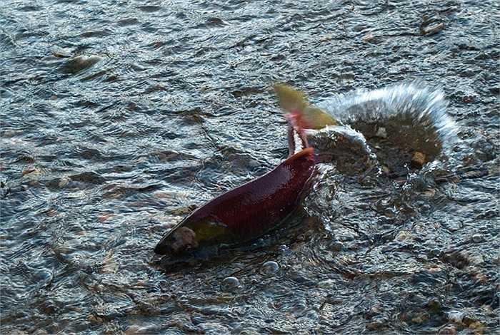 Cá hồi đỏ sẽ lớn lên ở sông Adams đến khi được 1 năm tuổi. Chúng sẽ ra vùng nước lợ ở cửa sông làm quen môi trường có độ mặn thấp, rồi tiến ra biển sống 3 năm liền.