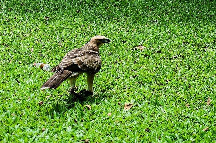 Theo chủ nhân, con chim này được mua từ Đà Lạt lúc mới 1 tháng tuổi.
