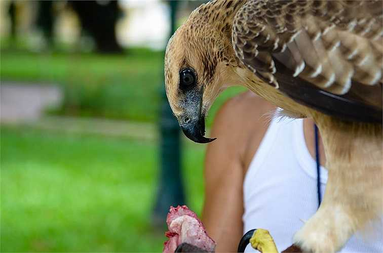Được biết, tại vườn hoa Lý Tự Trọng thường có 3 con đại bàng được huấn luyện, nhưng con được mua ở Đà Lạt có bộ lông đẹp nhất. Hiện nay, nó mới 5 tháng tuổi và mỗi ngày ăn hết 1 con chim cút.