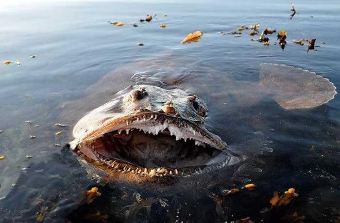 Cá monkfish có cái miệng rộng để hút các con mồi của mình vào trong dễ dàng hơn. (Nguồn: Getty)