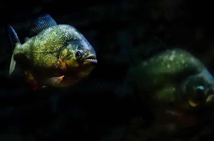 Cá Piranha có lẽ là loài cá đáng sợ nhất bởi độ nguy hiểm của nó. Dù có kích thước không lớn nhưng chúng thường đi theo đàn và lao vào xé xác bất cứ con mồi nào rơi xuống nước