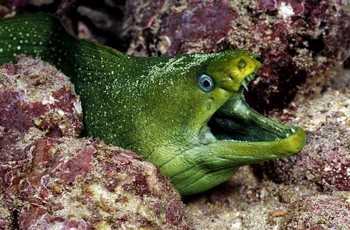 Loài lươn biển màu xanh lá cây cũng là một loài sinh vật rất nguy hiểm. Chúng thường xuất hiện ở phía Tây Đại Tây Dương và có thể dễ dàng được tìm thấy ở bất cứ đâu trong khu vực từ New Jersey đến phía bắc của Vịnh Mexico. (Nguồn: Getty)
