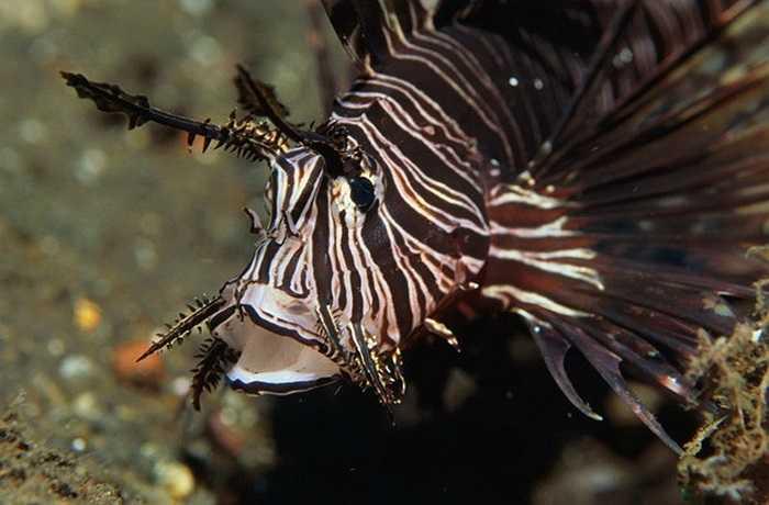 Cá mao tiên được tìm thấy nhiều ở Ấn Độ Dương và Tây Thái Bình Dương. Những con cá này cũng có nộc độc. (Nguồn: Getty)