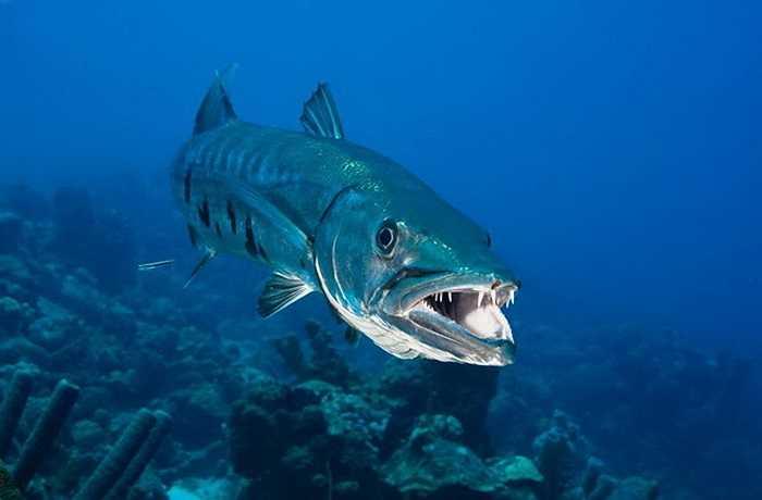 Cá Barracuda dù không tấn công con người nhưng bộ răng của chúng vẫn gây ra nỗi khiếp sợ. (Nguồn: Design Pics)