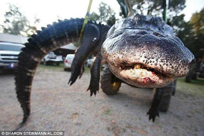 Con cá sấu dài gần 4,6m, nặng gần 460kg, được xem là lớn nhất từ trước đến nay ở bang Alabama. Nó cũng có thể lập kỷ lục là con cá sấu lớn nhất thế giới từng được săn bắt thành công.