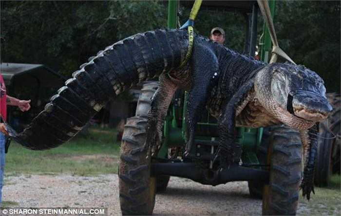 Một chiếc máy xúc được điều đến để nâng con cá sấu khổng lồ lên và cân nó. Cá sấu là loài nguy hiểm duy nhất được săn bắt một cách hợp pháp ở bang Alabama.