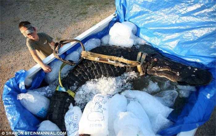 Hành trình tiếp theo của con cá sấu khổng lồ đã được ướp đá là một cửa hàng nhồi thú bông.