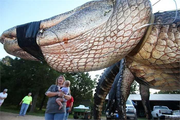 Đây là loài cá sấu mõm ngắn nặng 450 kg, dài 4,5m