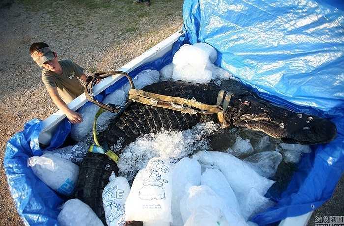 Con cá sấu được ướp đá trên xe