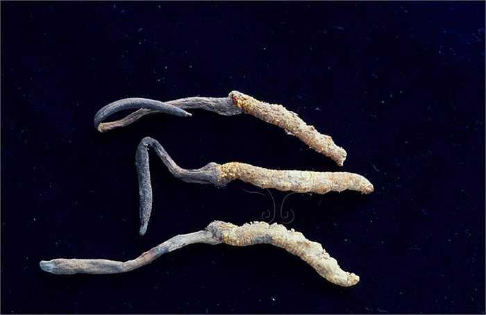 Hiện nay, do sự săn lùng và hoạt động khai thác quá mức, đông trùng hạ thảo trong tự nhiên đang có nguy cơ tuyệt diệt. Tuy nhiên con người đã biết cách nuôi, cấy loại dược liệu này trong môi trường công nghiệp.
