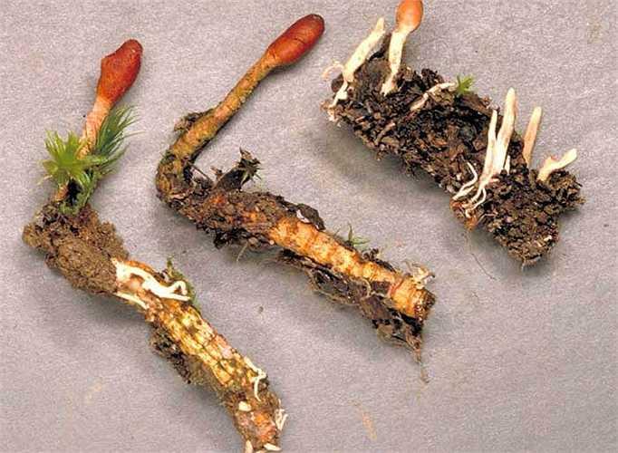 Đông trùng hạ thảo tự nhiên có giá đắt khủng khiếp, lên đến 2 tỷ đồng cho một kg.