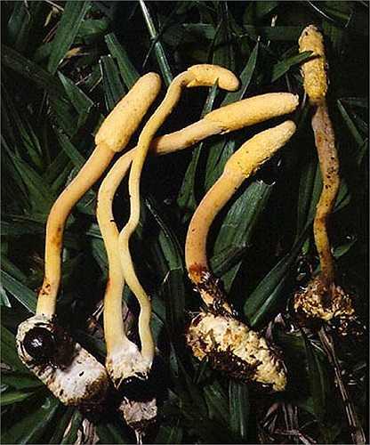 Loài nấm này phân bố ở một số khu vực thuộc châu Á và châu Úc với  trung tâm đa dạng được xem là vùng Đông Á.