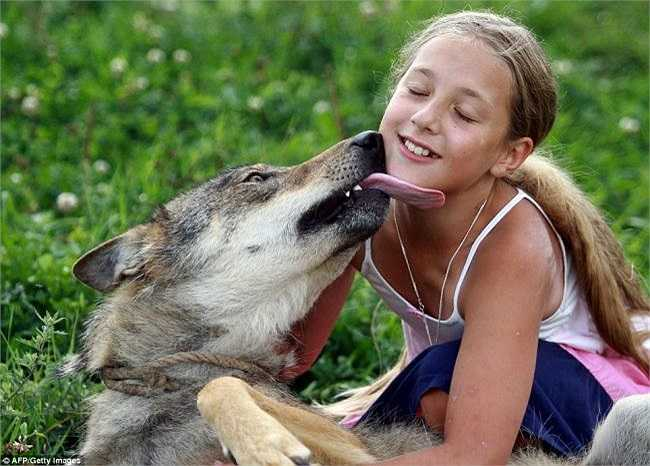 Đối với gia đình này, đặc biệt là với cô nữ sinh bé nhỏ Alisa Selekh, thì bầy sói dường như trở thành thú cưng trong nhà và là những người bạn thân thiết với họ.