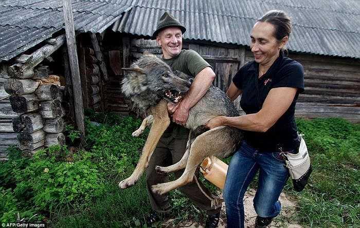 Những giờ rảnh rỗi, Alisa Selekh luôn dành thời gian để nô đùa cùng bầy sói, thậm chí cô bé này còn hôn và cưỡi lên bầy sói.