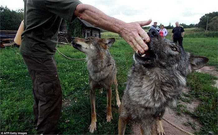 Tuy nhiên, rất nhiều người dân tại địa phương luôn lo ngại về mối nguy hiểm đối với gia đình của Selekh khi nuôi chó sói trong nhà.