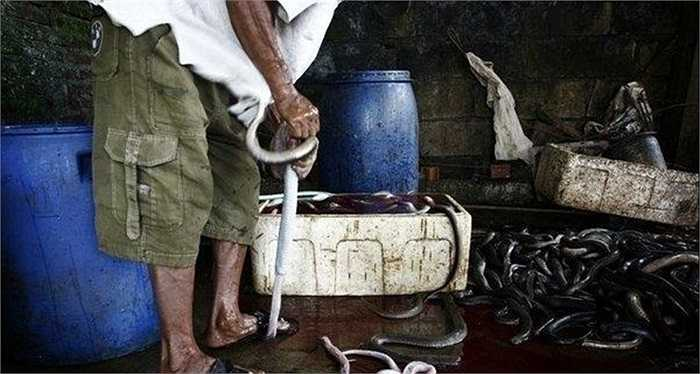 Người dân lọc da rắn độc để bán