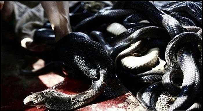 Một trong những người nuôi rắn ở làng Tử Tứ Kiều nói họ kiếm sống chủ yếu bằng nghề nuôi giết rắn vì bán được giá rất cao