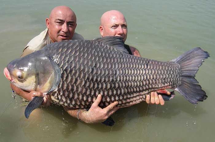 Loài cá này có tên khoa học là Catlocarpio siamensis. Người Khmer gọi là cá hô, là loài lớn nhất của họ Cyprinid trên thế giới.