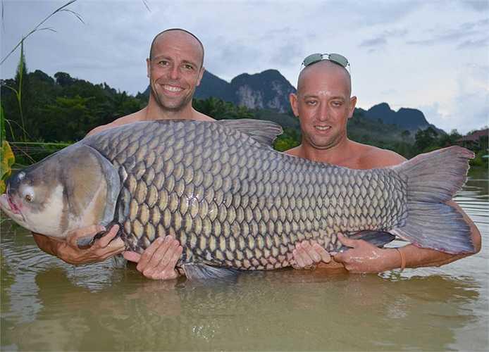 Các cần thủ ở Đông Dương cũng thích thú với việc săn lùng loài cá này. Nhiều câu lạc bộ câu cá đã tổ chức những chuyến đi dài ngày, đến những vùng đất dọc ven sông Mê Kông để câu cá chép Xiêm.