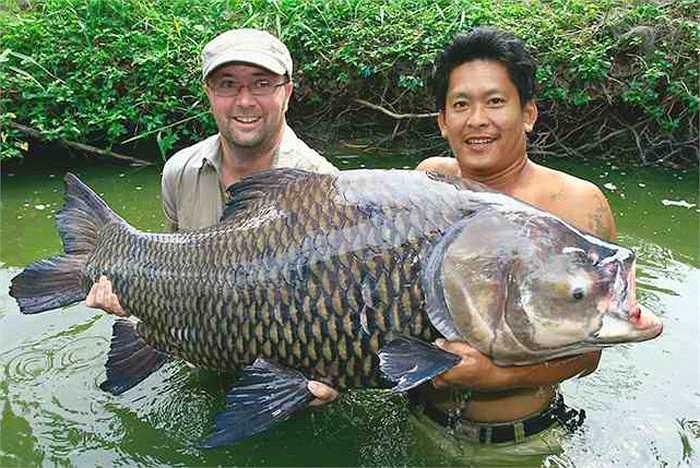 Chính vì thế, cá chép Xiêm khổng lồ đã được liệt kê là Cực kỳ nguy cấp trong Sách đỏ của IUCN. Loài này được ghi nhận đã hoàn toàn tuyệt chủng tại sông Chao Phraya.