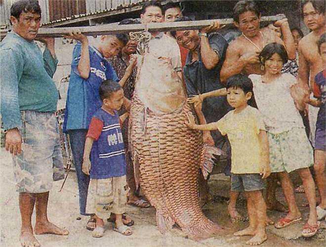 Hiện nay, cá chép Xiêm chỉ còn nhiều ở Thái Lan, do chính quyền quản lý tốt việc đánh bắt có giới hạn.